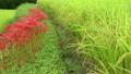 秋の水田と彼岸花 明日香村にて 12013911