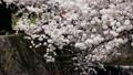 櫻桃樹 12456605