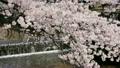 櫻花 12456606