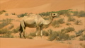 camel watch and run 10286  12527518