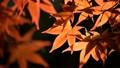 透過光で見る紅葉のクローズアップ 12748082