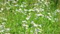 field chamomile 13080423