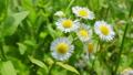 field chamomile 13080424