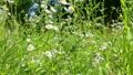 field chamomile 13080425
