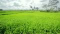 beautifful rice fields in bali 13262393