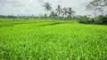 beautifful rice fields in bali 13262395