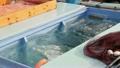 ブリ 漁業 魚の動画 13391866