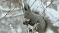 クルミ リス 栗鼠の動画 13760553