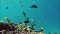 Many fish swim among corals in the Red Sea - Egypt 13838611