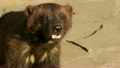 Closeup side face portrait of a wolverine (Gulo gulo) sniffing the air.  13866956