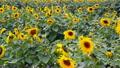 Motion สโลว์โมชั่น sunflower ดอกทานตะวันจำนวนมากสั่นไหวในสายลม 13998155