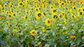 ยินดีต้อนรับแสงแดดฤดูร้อนและยิงดอกทานตะวันเลียในสายลมอ่อนโยน 4K 13998220