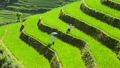 Workers Planting Rice in Scenic Rice Terraces - Northern Mountains Sapa Vietnam 14070124
