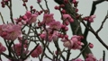 梅の花 14300389