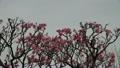 梅の花 14300390