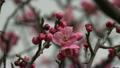 梅の花 14300391