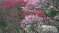 梅の花 14300392
