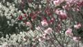 梅の花 14300393