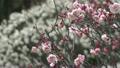 梅の花 14300394