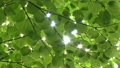 Wakaba leaves and sun leaves 14455379