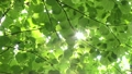 Wakaba leaves and sun leaves 14455381