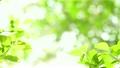 잎, 새잎, 신록 14996346