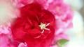 母の日のカーネーションと星のピアス 15090978