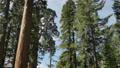 Sequoia National Park Time Lapse 02 General Grant Tree Tilt Up Grant Glove 15210559
