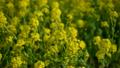 菜の花に群がるハチ 15387217