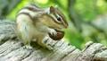 胡桃を食べるエゾシマリス 15749954