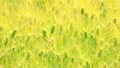 風にそよぐ小麦畑  15807925