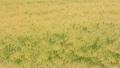 風にそよぐ小麦畑  15807926