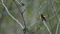 野鳥 キビタキ 鳥の動画 15889149