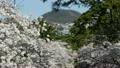 櫻花和Koshiyama 15927252