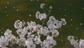樱花和河 15927629
