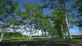十勝牧場 新緑の白樺並木 15974316