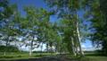 十勝牧場(音更町駒場) 新緑の白樺並木 15974317