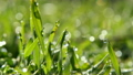Spring grass with dew water drops in sunrise 16452800