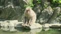 座っている野生のニホンザル 16455245