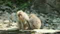 毛づくろいをする野生のニホンザル 16455246