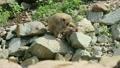 毛づくろいをする野生のニホンザル 16455248