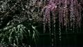 치성 축 늘어져 매화 (우천시) 16581620