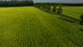 満開のキカラシ畑 16687749