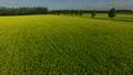 満開のキカラシ畑in北海道 16687750