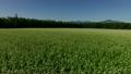 満開!北海道産蕎麦の花 16687752