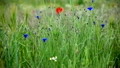 Poppies And Cornflowers On A Summer Meadow 16788928