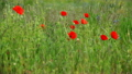 Poppies On A Summer Meadow Blowing In The Wind 16788956