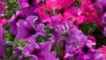 植物 開花 植物的 16869852