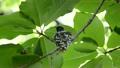 抱卵するサンコウチョウのメス 16917921