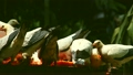 นกพิราบเกาะกันเป็นโกงกาง 16919657